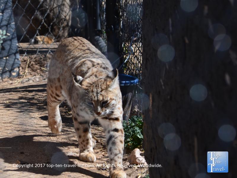 Beautiful cat at the Heritage Park Zoo in Prescott, Arizona