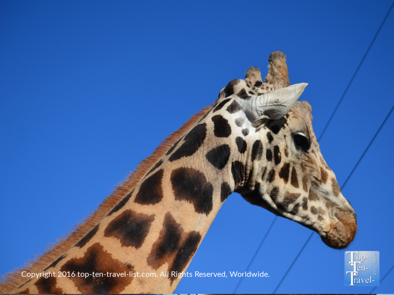 Close up of a giraffe via the safari ride at Out of Africa Wildlife Park in Camp Verde, Arizona