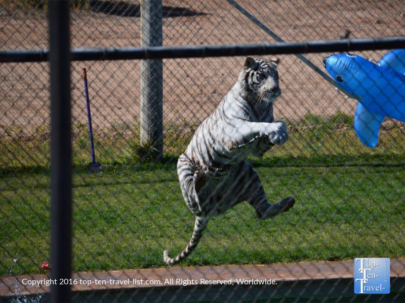 Tiger Splash show at Out of Africa Wildlife Park in Camp Verde, Arizona