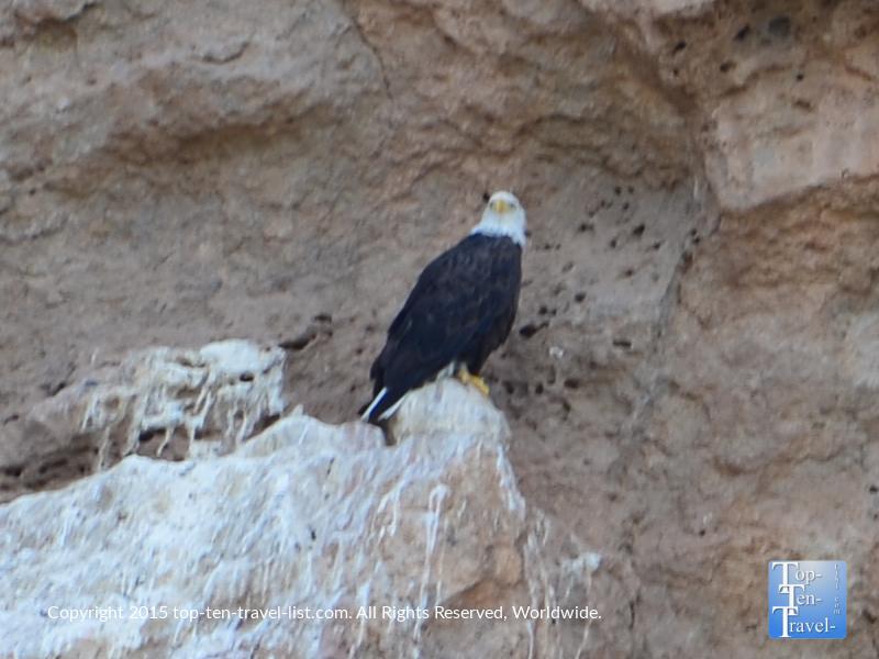Bald eagle sighting at Saguaro Lake near Mesa, Arizona