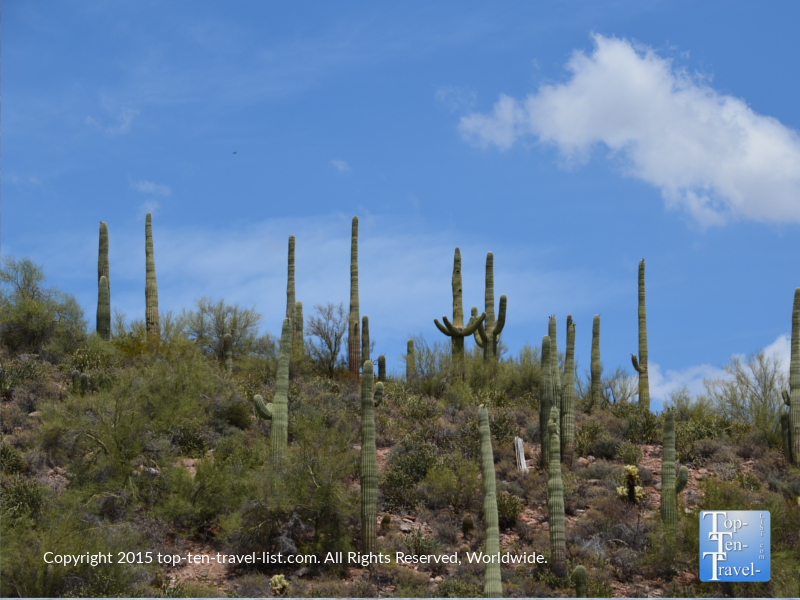 Views of Saguaro cacti from the Desert Belle cruise in Arizona