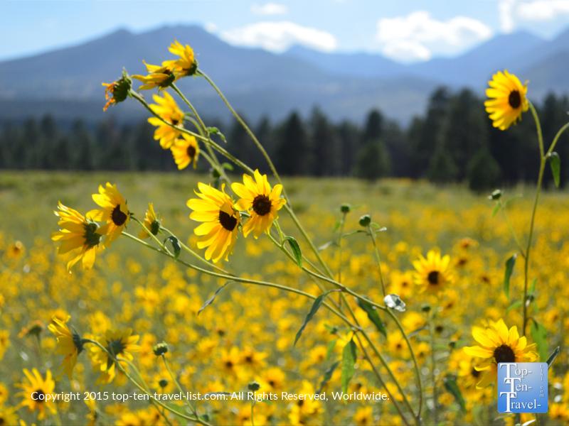 Summer wildflowers at Bonito Meadow in Flagstaff, Arizona