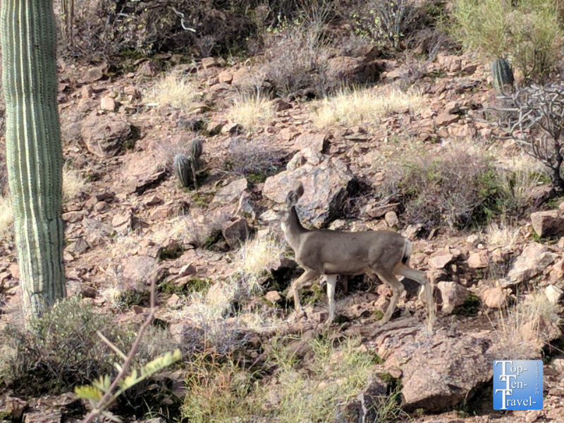 Deer sighting along the Hidden Canyon Bowen loop trail in Tucson, Arizona