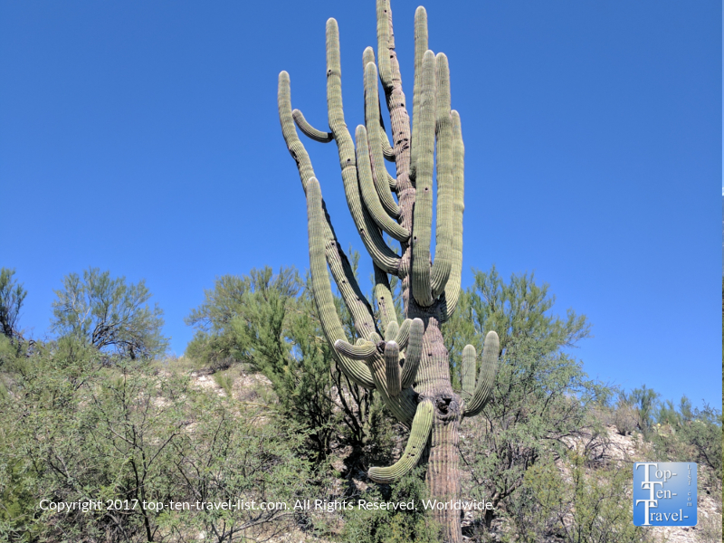 Giant Saguaro cactus with many arms along the Honeybee Canyon trail in Oro Valley, Arizona