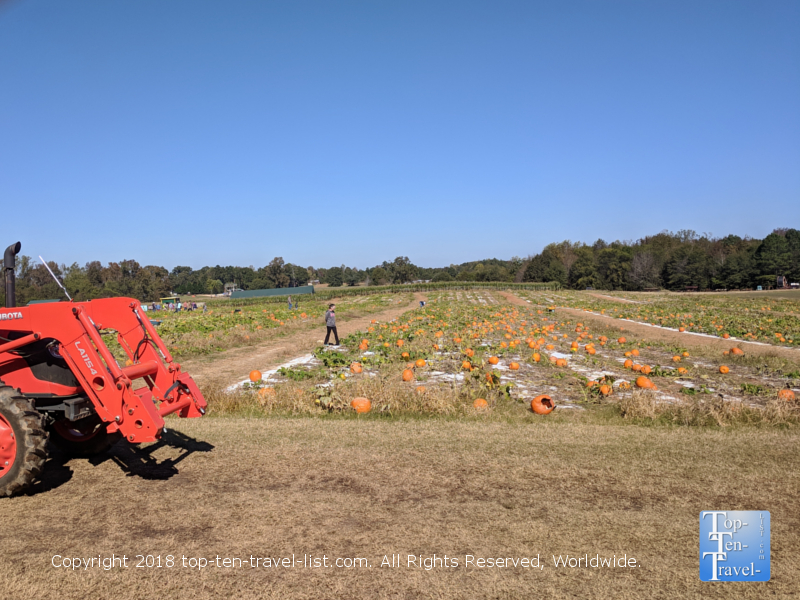 Carolina pumpkin patch