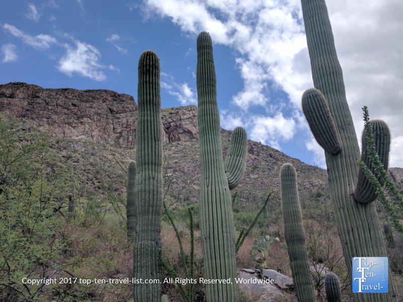 Towering Saguaro cacti lining the Pima canyon trail in Tucson, Arizona