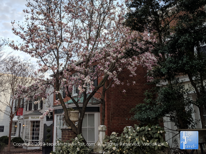 Cherry blossoms in the gorgeous historic section of Georgetown