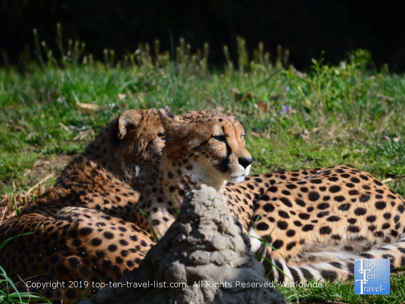 Cheetahs at the Smithsonian National Zoo in DC