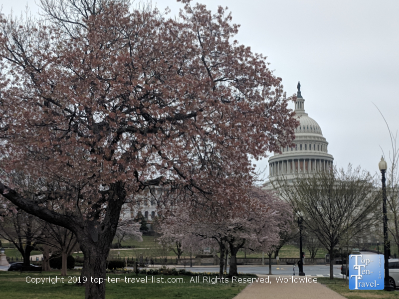 Picturesque views of the Capitol Hill building near Cherry blossom season in D.C.