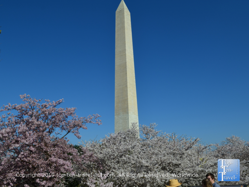 Cherry blossoms surrounding the Washington Monument in DC