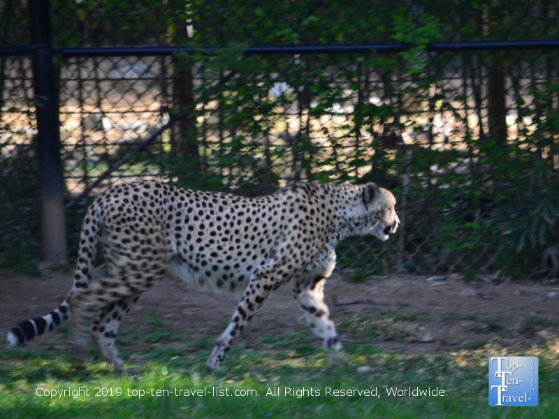 Gorgeous cheetah at the Smithsonian National Zoo in DC