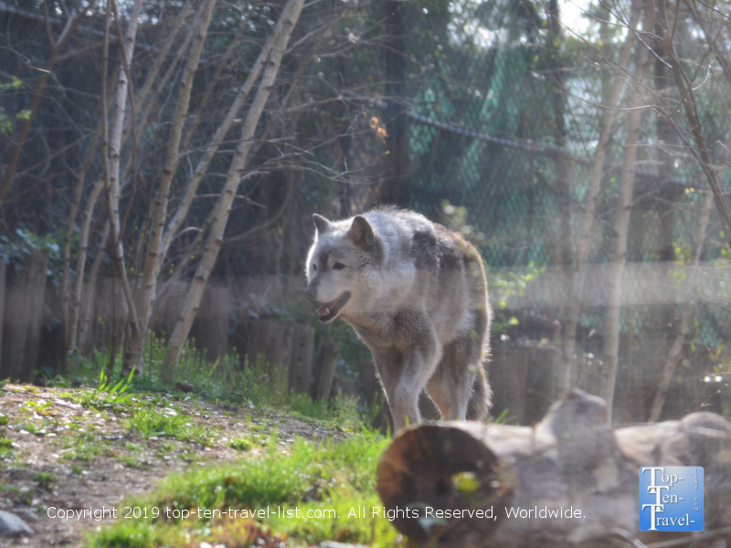 Gray wolf at the Smithsonian National Zoo in DC