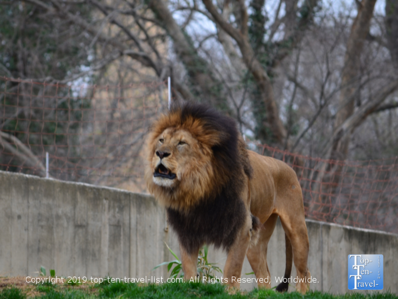 Lion roaring at the Smithsonian Zoo in D.C.