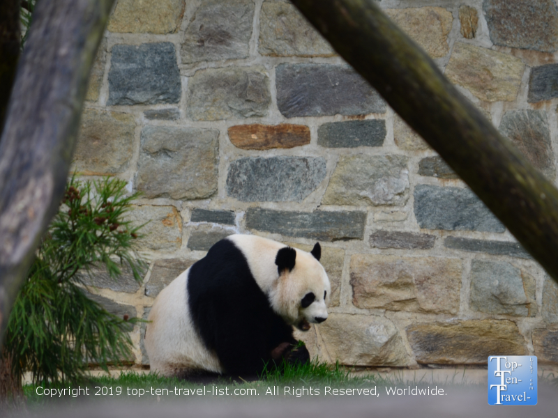 Panda at the Smithsonian Zoo in DC