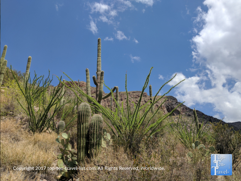 Pretty-desert-plant-life-along-the-Pima-Canyon-trail-in-Tucson-AZ