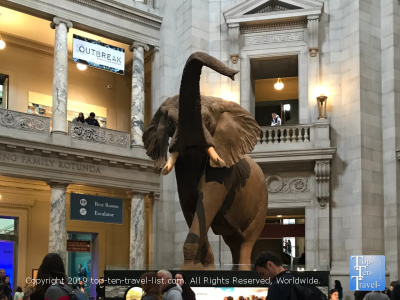 African bush elephant at the Smithsonian Natural History Museum in DC