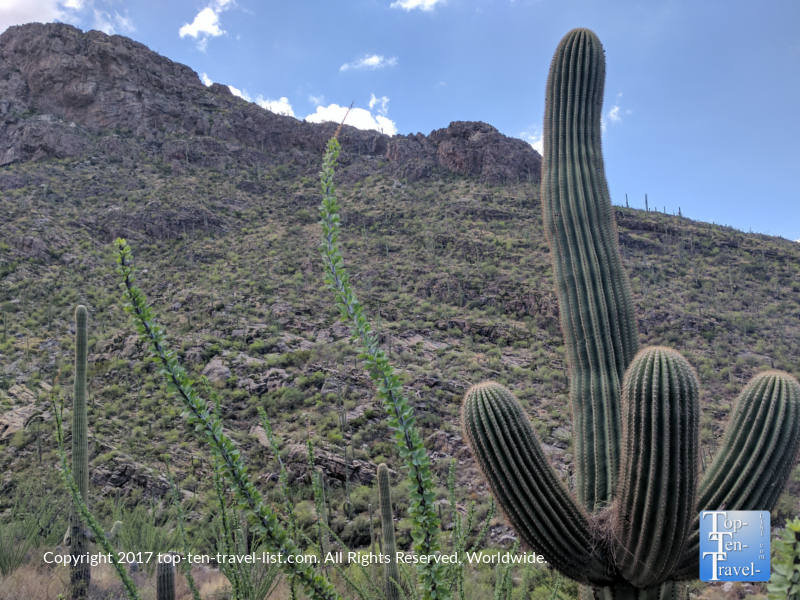 Tall-Saguaro-cactus-along-the-Pima-Canyon-trail-in-Tucson-AZ