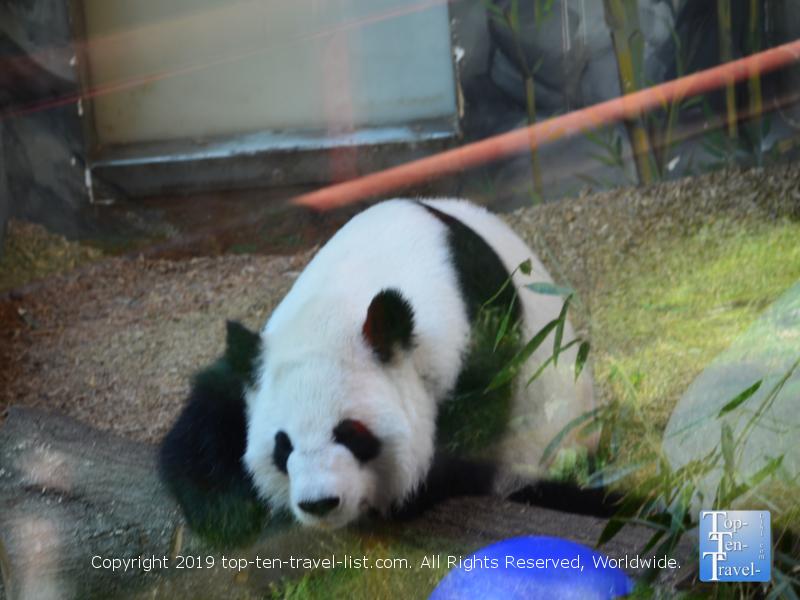 Panda bear at Zoo Atlanta