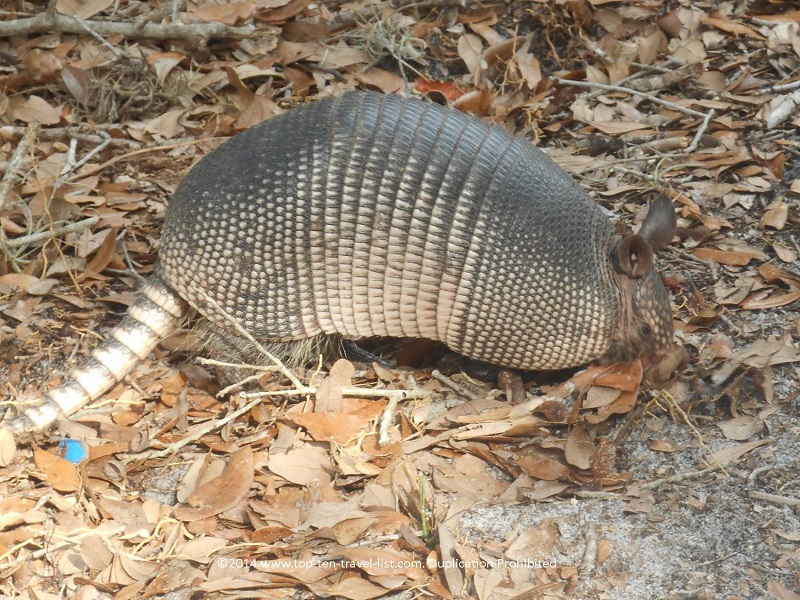 Armadillo at Weedon Island Preserve in St. Petersburg, Florida