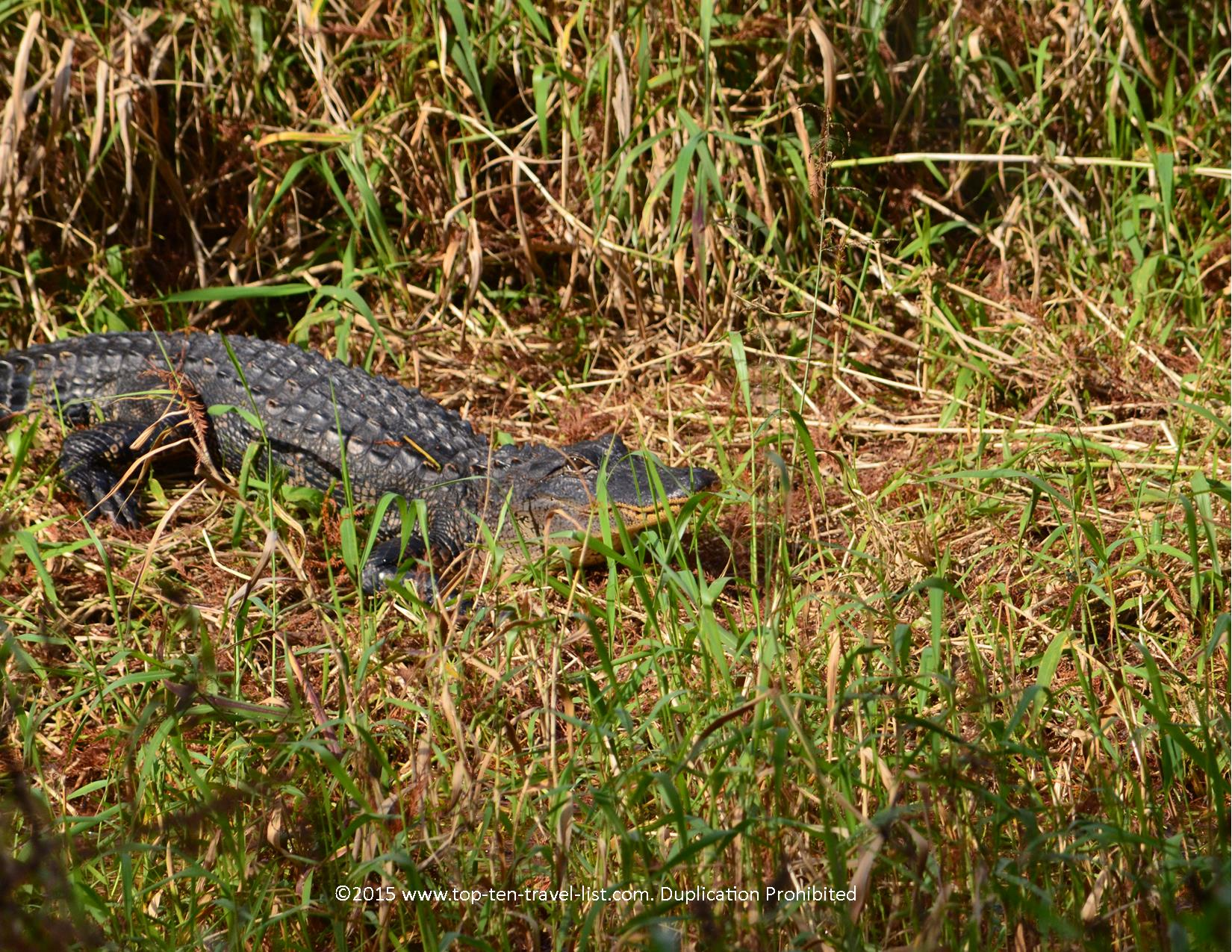 Alligator sighting at Circle B Bar Reserve in Lakeland, Florida