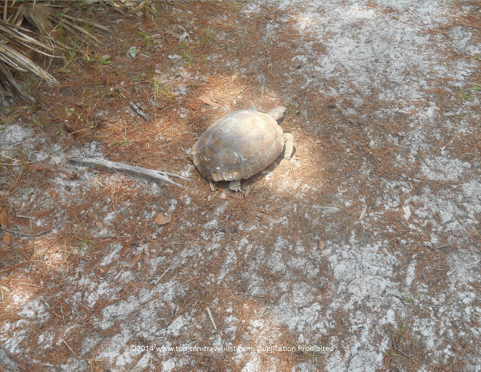Gopher tortoise in Orlando, Florida