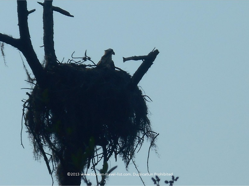 Osprey nest at Honeymoon Island State Park
