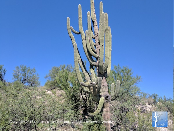 Multi arm cactus along the Honeybee Canyon trail in Oro Valley, Arizona