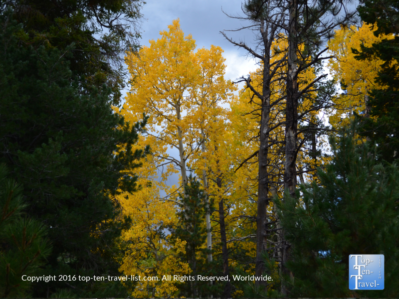 Bright golden foliage lining the Bear Jaw trail in Flagstaff, Arizona