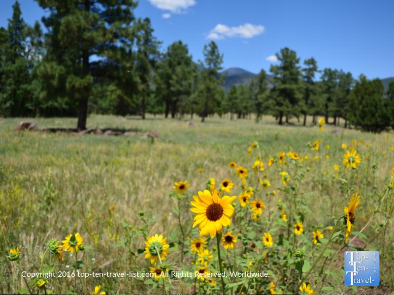 Wildflowers at Buffalo Park in Flagstaff, Arizona