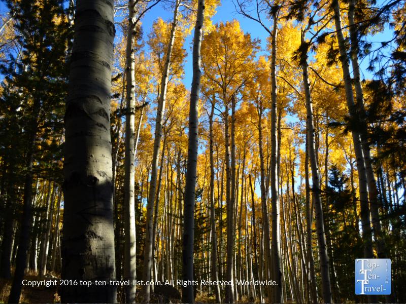 Golden aspens lining the Kachina trail in Flagstaff, Arizona