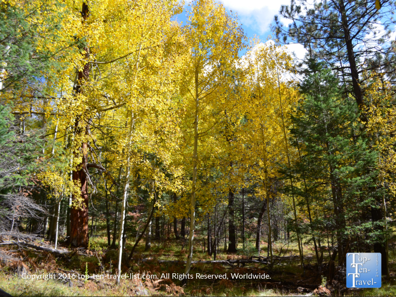 Aspens and pines lining the Veit Springs trail in fall in Flagstaff, Arizona