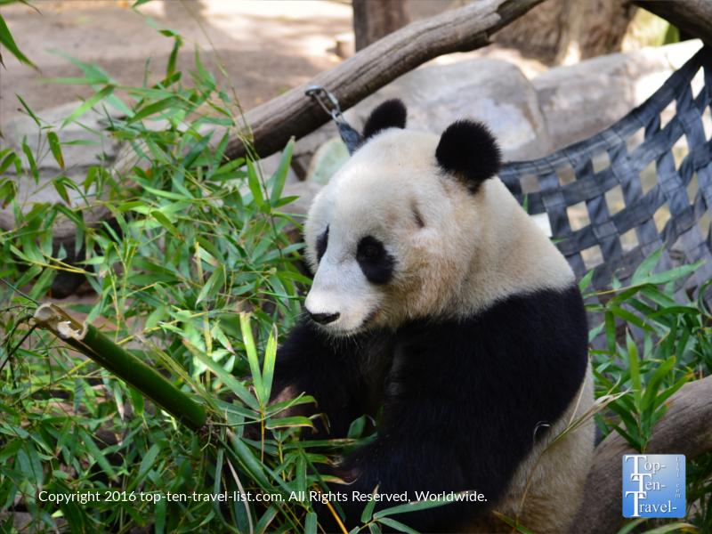 Closeup of an adorable panda a the San Diego Zoo