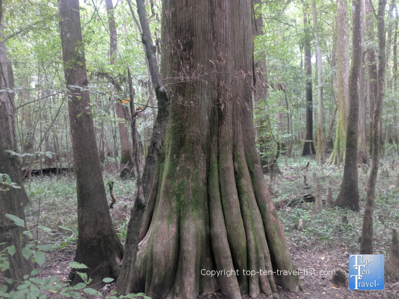 """Redwoods East"" Congaree National in South Carolina"