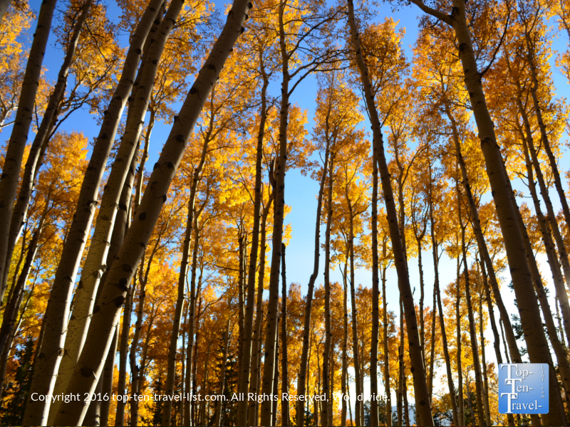 Shimmering golden aspens lining the Kachina Trail in Flagstaff, Arizona
