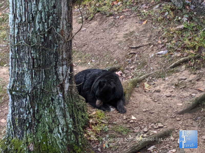 Black Bear at the Western North Carolina Nature Center