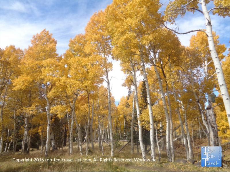 Bright golden aspens lining the Aspen Nature Loop in Flagstaff, Arizona