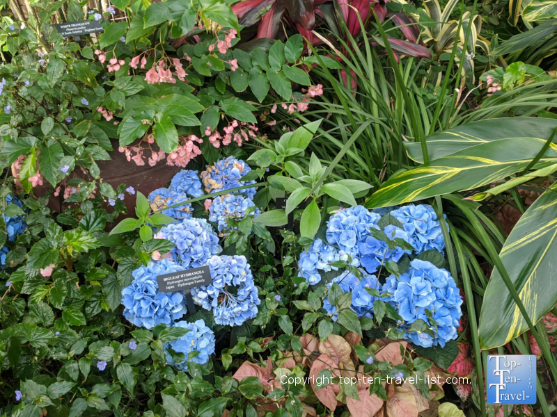 Beautiful hydrangea at Longwood Gardens in Pennsylvania