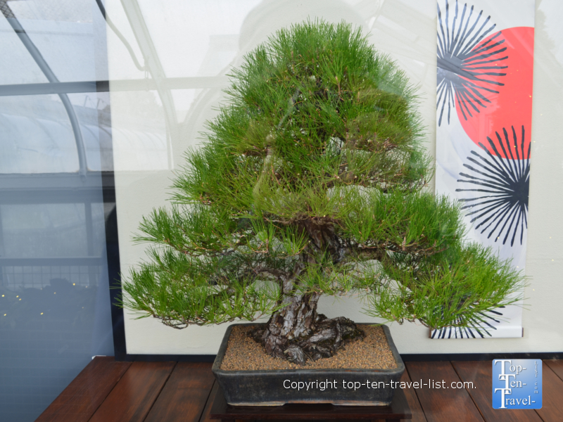 Unique addition to the Bonsai Collection at Longwood Gardens in Pennsylvania