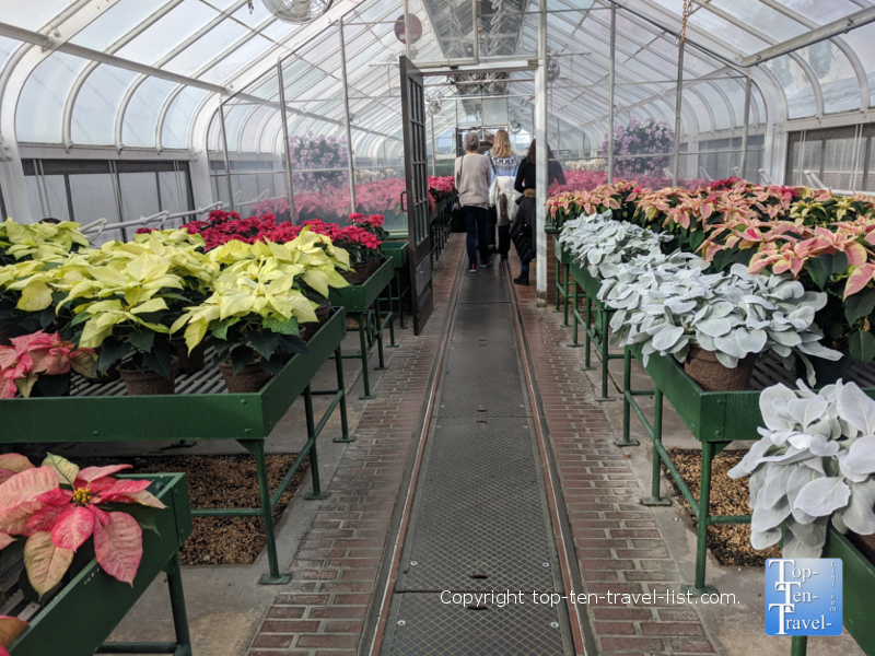 Colorful poinsettias at Longwood Gardens in Pennsylvania
