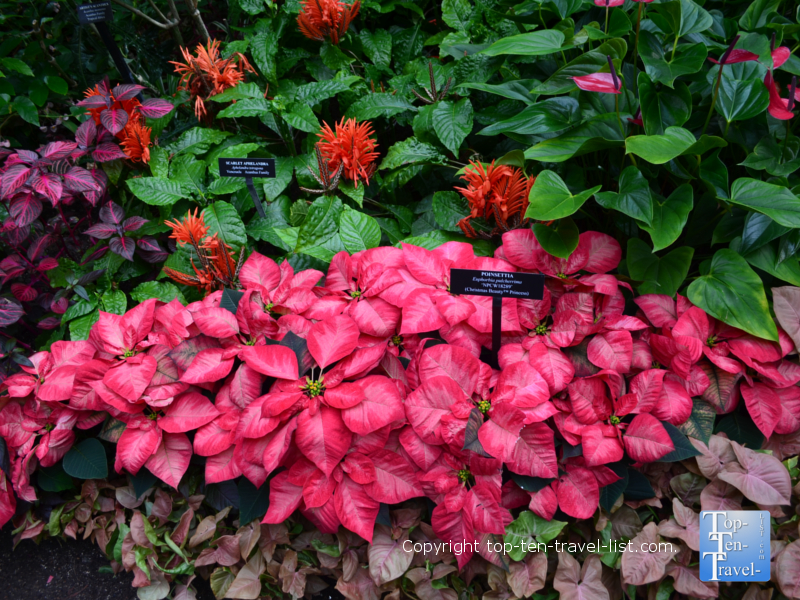 Beautiful poinsettias at Longwood Gardens in Pennsylvania