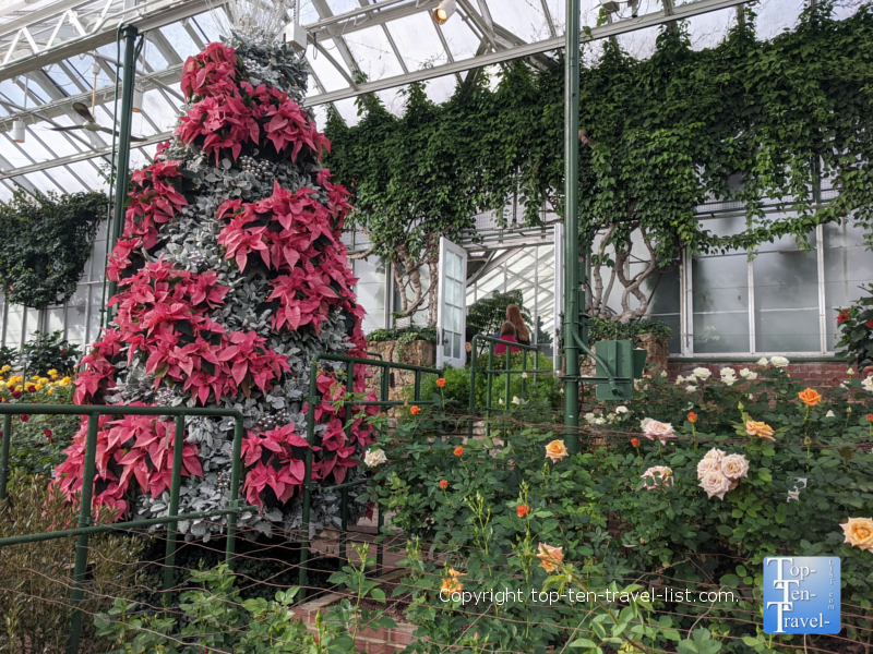 Poinsettia tree at Longwood Gardens in Pennsylvania