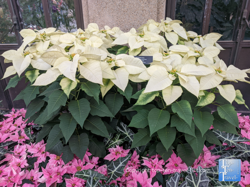 Seasonal poinsettias at Longwood Gardens in Pennsylvania