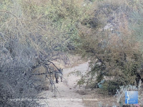 Bobcat sighting along the Linda Vista trail in Oro Valley, Arizona
