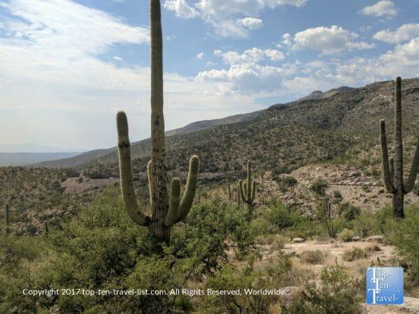 Saguaro cactus in Tucson, Arizona