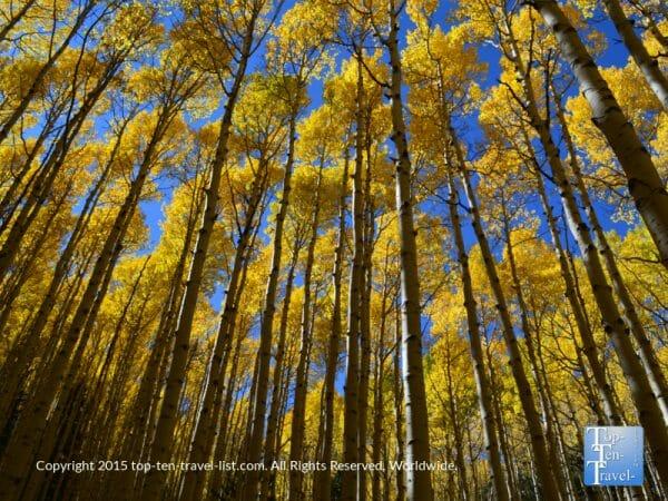 Golden aspens lining the Inner Basin trail in Flagstaff, Arizona