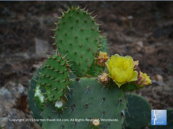 Prickly pear cactus in Arizona