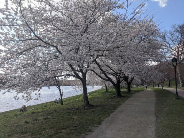 Cherry blossoms lining the Schuylkill River trail in Philadelphia, Pennsylvania