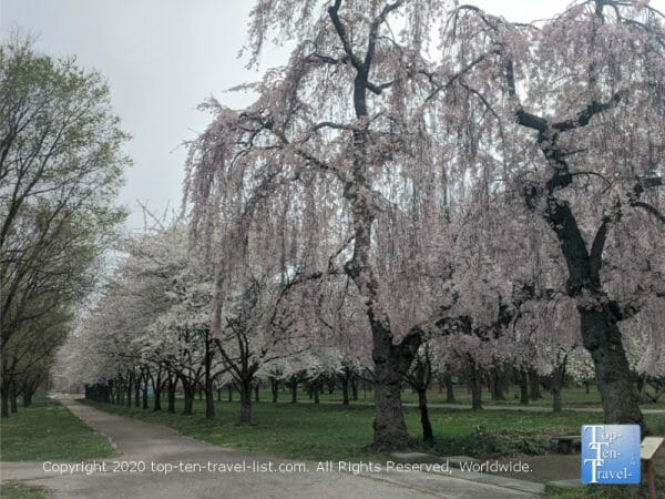 Cherry blossoms in Philadelphia's beautiful Fairmount Park