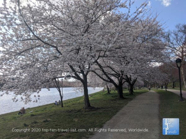 Cherry blossoms lining the beautiful Schuylkill River trail in Philadelphia