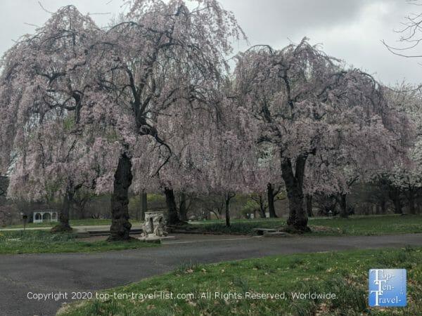 Philly's Fairmount Park during cherry blossom season